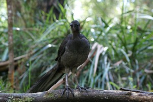 Female Lyrebird